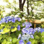 鎌倉・長谷寺はあじさい真っ盛りじゃ。
