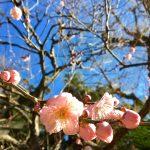 鎌倉にもそろそろ春が!桜の前に梅が咲き始めたのじゃ♬